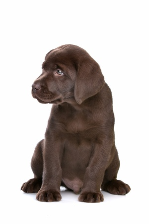 pups: chocolate Labrador puppy in front of a white background Stock Photo