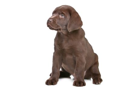 chocolate Labrador puppy in front of a white background Stock Photo