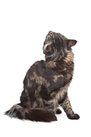 grey tabby: maine coon, black tabby cat in front of a white background