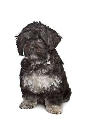 boomer: little black boomer dog in front of a white background Stock Photo