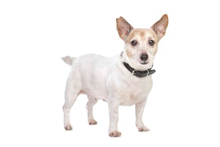 Jack russel terrier on front of a white background Stock Photo