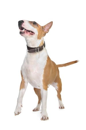 Bull Terrier in front of a white background photo