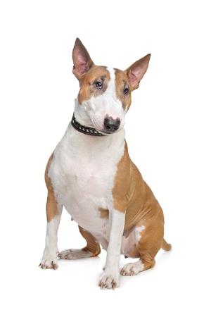 bull terrier: Bull Terrier in front of a white background