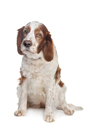 pure bred: Welsh Springer Spaniel in front of a white background