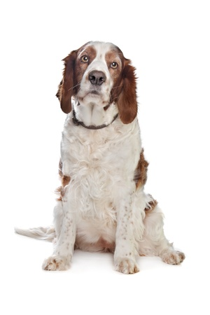 Welsh Springer Spaniel in front of a white background