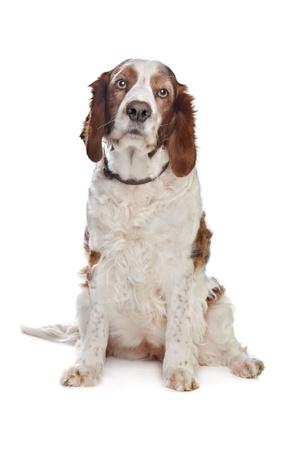 springer: Welsh Springer Spaniel in front of a white background