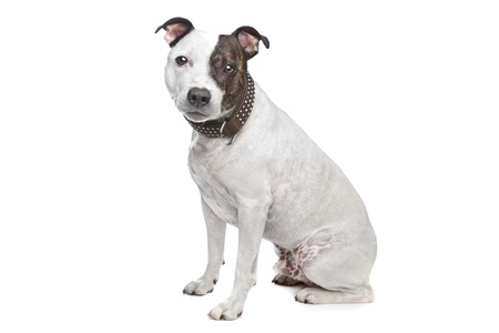 pure bred: staffordshire terrier in front of a white background Stock Photo
