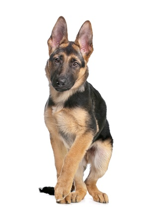 German Shepherd puppy in front of a white background photo