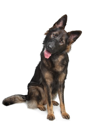 German Shepherd in front of a white background Stock Photo - 11996609