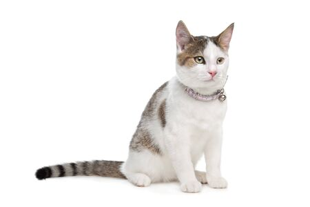 short-haired cat in front of a white background photo