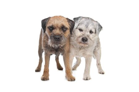 pure bred: Old and Young border terrier dogs in front of white background Stock Photo