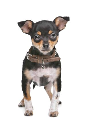 pure bred: Black and Tan Chihuahua in front of a white background