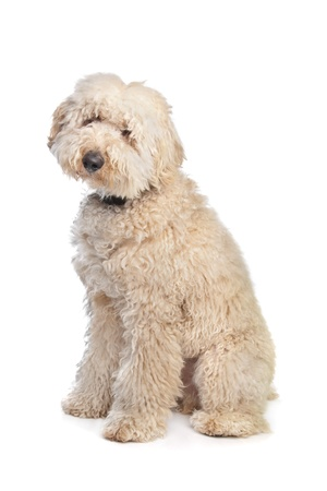 Australian Labradoodle in front of a white background