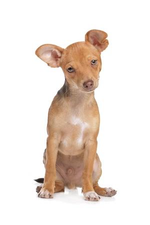 miniature breed: chihuahua de raza mixta y perro de Pincher miniatura delante de un fondo blanco