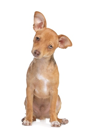 pure breed: mixed breed chihuahua and miniature Pincher dog in front of a white background