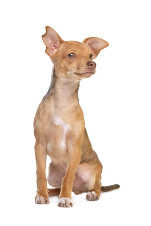 pincher: mixed breed chihuahua and miniature Pincher dog in front of a white background