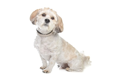 pure bred: boomer dog in front of a white background