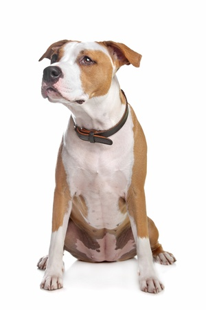 American Staffordshire Terrier in front of a white background Stock Photo