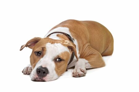 amstaff: American Staffordshire Terrier in front of a white background Stock Photo