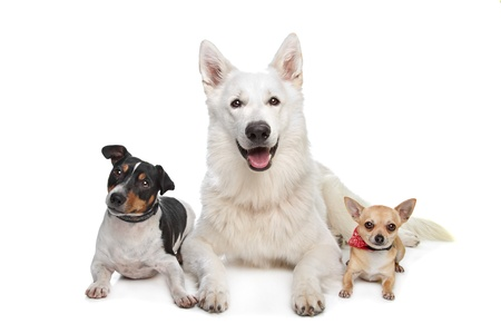 pure breed: chihuahua,white shepherd and a jack russel terrier in front of white