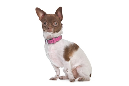 chihuahua in front of a white background brown and white short haired chihuahua photo