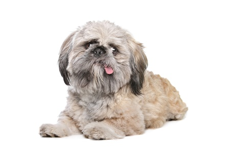 shih tzu: mixed breed of a shih tzu and pekingese dog