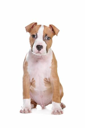 staffordshire: American Staffordshire Terrier pup in front of white