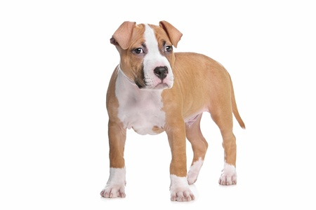 amstaff: American Staffordshire Terrier pup in front of white