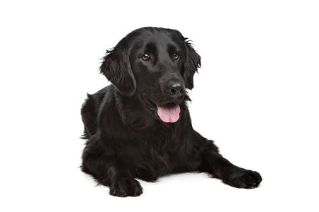 retriever: Flat-Coated Retriever in front of a white background