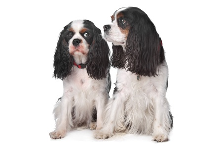 Two Cavalier King Charles Spaniels in front of white background photo
