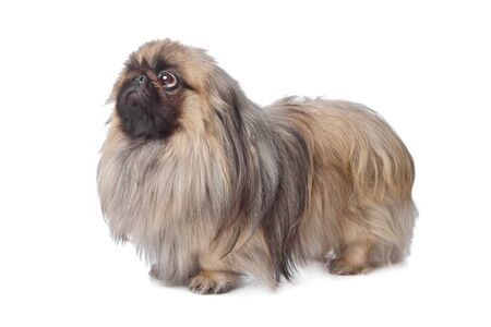 Pekingese in front of white background Stock Photo