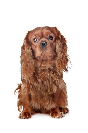 Brown Cavalier King Charles Spaniel in front of a white background photo