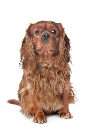 Brown Cavalier King Charles Spaniel, devant un fond blanc photo