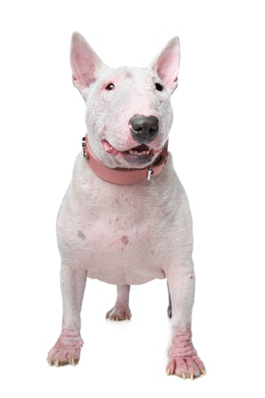 skin problem: White Bull Terrier with skin problems in front of a white background