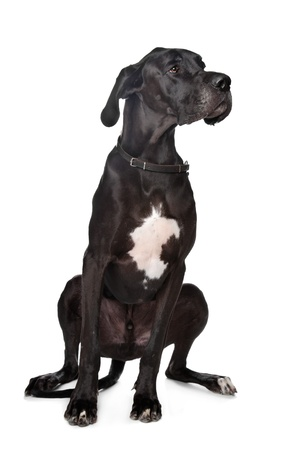 Black Great Dane in front of a white background photo