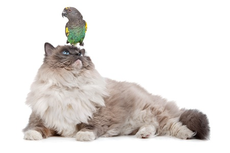 A parrot sitting on a cats head in front of a white background photo