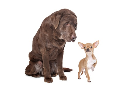 Labrador and Chihuahua in front of a white background photo