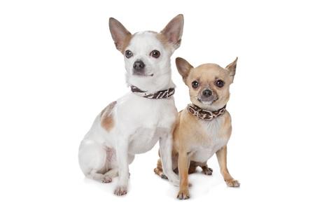 shorthaired: dos de pelo corto chihuahua perros delante de un fondo blanco