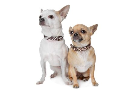 shorthaired: two short-haired chihuahua dogs in front of a white background Stock Photo