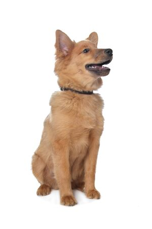 mixed breed dog,sheltie and Eurasi�r in front of a white background Stock Photo - 12374886