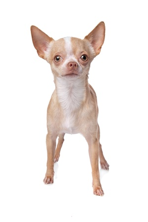 chihuahua dog in front of a white background photo