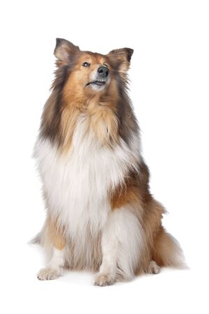 Rough Collie or Scottish Collie in front of a white background photo