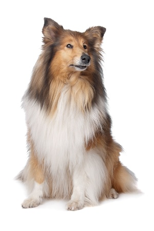 long haired: Rough Collie or Scottish Collie in front of a white background
