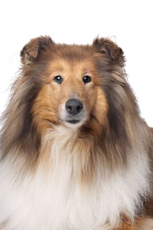 scottish collie: Rough Collie or Scottish Collie in front of a white background