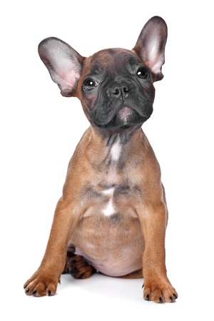 French Bulldog puppy(18 weeks) in front of a white background photo