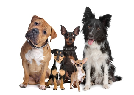 miniature dog: group of five dogs sitting in front of a white background