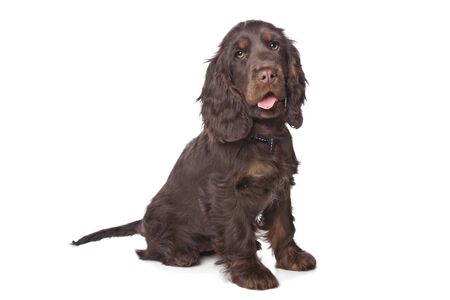English Cocker Spaniel in front of a white background