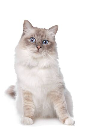 Sacred Birman in front of a white background Stock Photo