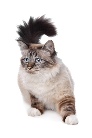 Sacred Birman in front of a white background Imagens