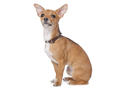 pincher: mixed breed dog,chihuahua and pincher,in front of a white background